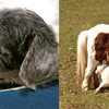 End of days: Shetland pony breastfeeds a lamb and a dog wet nurses a cat